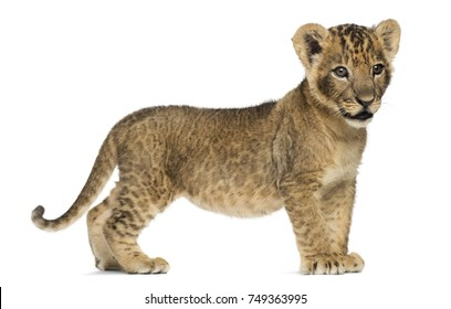 Side view of a Lion cub standing, looking away, 7 weeks old, isolated on white