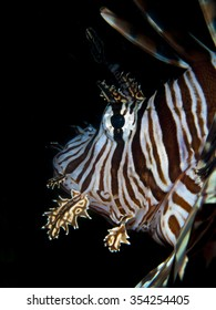 Side view of a lion fish head