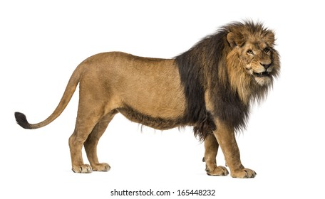 Side view of a Lion standing, roaring, Panthera Leo, 10 years old, isolated on white