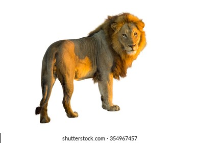 Side view of a Lion standing at sunrise, Panthera Leo, isolated on white background
