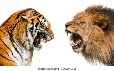 Seitenansicht eines Löwen und eines Tigers, der bereit zum Kampf ist, einzeln auf weiß