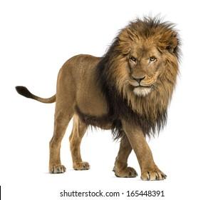 Lion Images, Stock Photos & Vectors | Shutterstock