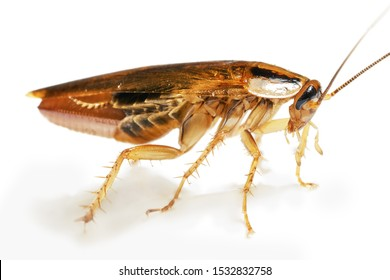 Side view of a living adult red cockroach with a broken rear paw macro isolated on the white background with shadows. A pregnant cockroach with egg. A disgusting domestic insect