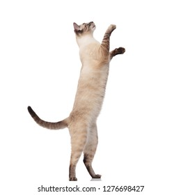 side view of lovely burmese cat jumping on back legs and reaching up with its paws on white background