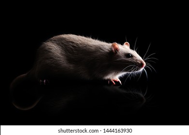 Side view low key full length portrait of a domestic rat at the black background