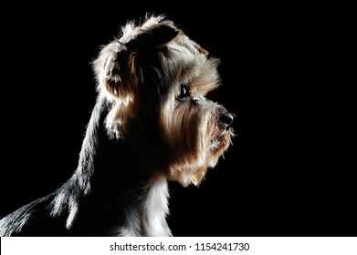 Side view low key head portrait of a yorkie pet