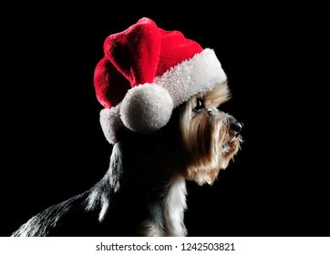 Side view low key head portrait of a yorkie pet wearing santa hat