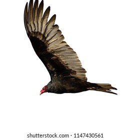 Side view of lying big Turkey vulture with red head and big wings isolated on white background