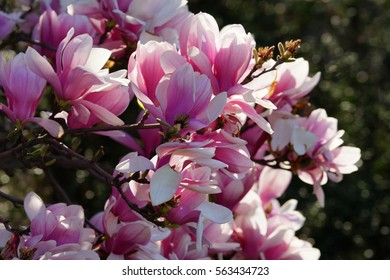 Side view of Magnolia officinalis blossom