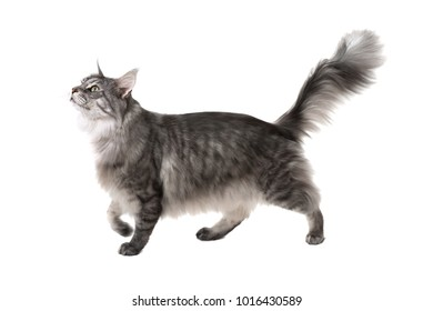 Side view of a maine coon cat walking and looking up on a white background