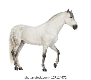 Side view of a Male Andalusian, 7 years old, also known as the Pure Spanish Horse or PRE against white background