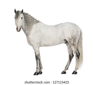 Side view of a Male Andalusian, 7 years old, also known as the Pure Spanish Horse or PRE, with plaited mane and looking at camera against white background