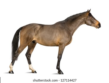 Side view of a Male Belgian Warmblood, BWP, 3 years old, stretching its neck against white background
