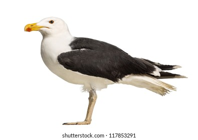 Side view of a Male Great Black-backed Gull, Larus marinus, against white background