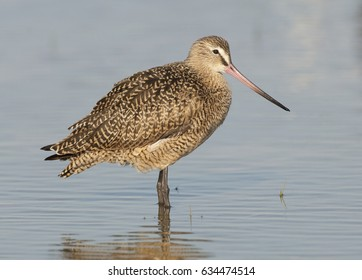 Side view of Marbled Godwit in shallow water