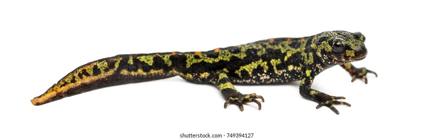 Side view of a Marbled newt, Triturus marmoratus, isolated on white
