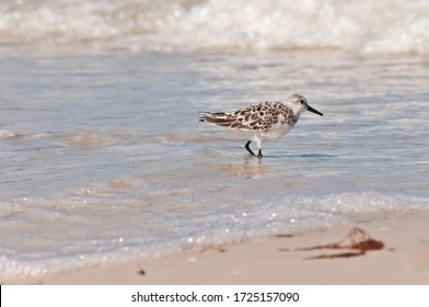 Side view, medium distance of sanderling, seabird, walking a tropical, sandy shoreline hunting for food on gulf of Mexico