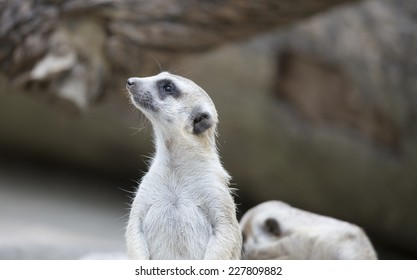 Side view of a meerkat close up