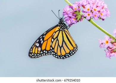 Side view of a monarch butterfly (Danaus plexippus) perched on a cluster of seedless butterfly bush flowers (genus Buddleia) photographed against a blurred light blue background.