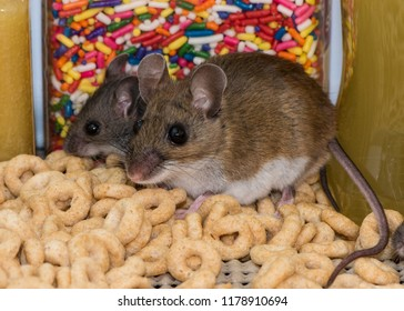 Side view of a mother wild brown house mouse and her smaller gray offspring sitting on a mound of spilled cereal. They are in a kitchen cabinet with colorful candy in the background.