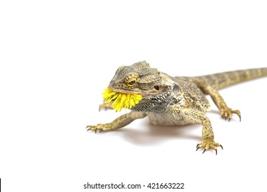 Side view od the agama lizard is standing on the light background. The yellow blossom of dandelion is in its mouth.  Everything is on a light background.