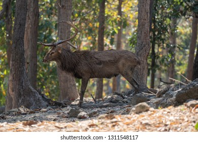 Side view old male Eld's Deer or brow- antlered deer standing on the forest ground in the morning.