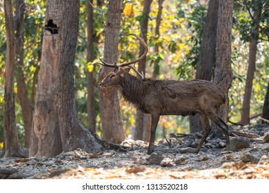 Side view of old male Eld's Deer or brow- antlered deer standing on the forest ground in the morning sunlight.