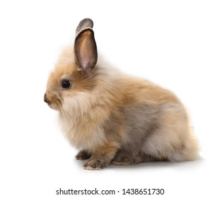 side view one baby red or brown bunny rabbit on isolated and white background in studio lighting