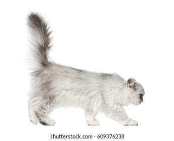 Side view of a Persian kitten, 3 months old, isolated on white