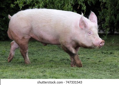 Side view photo of a young domestic pig sow on animal farm summertime