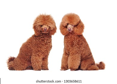 Side view picture of a poodle before and after grooming procedures