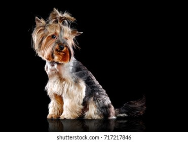 Side view picture of a sitting Yorkshire Terrier  isolated on black looking back