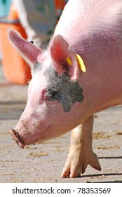 Side view of a pig up close with his foot stretched out.