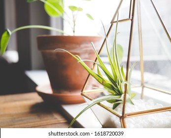 Side view of plants on a windowsill, air plant in a gold terrarium in the forefront, potted pilea in the background, using depth of field blur to provide focus on air plant