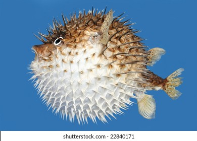 Side view of a porcupine fish, isolated on a blue background.