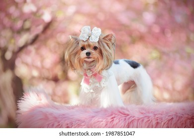 Side view portrai of a biever york standing under blooming cherry trees