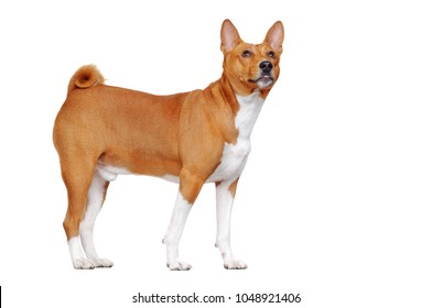 Side view portrait of a basenji dog isolated on white looking up to the copy space area