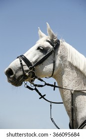 Side view portrait of a beautiful grey racing horse during work against blue sky