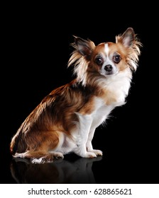 side view portrait of a sitting chihuahua dog  in a black studio