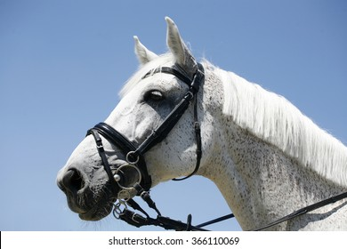 Side view portrait of a thoroughbred racing horse