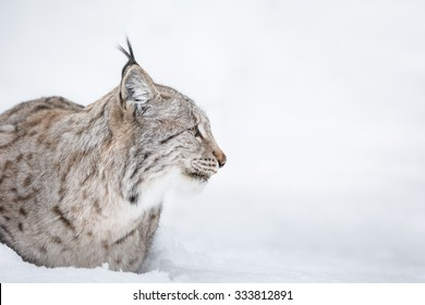 A side view profile of a Lynx wildcat lying in deep snow during a Norwegian winter.