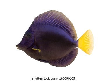 Side view of a Purple tang, Zebrasoma xanthurum, isolated on white