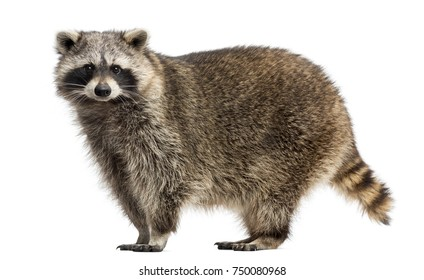 Side view of a Raccoon, Procyon Iotor, standing, isolated on white