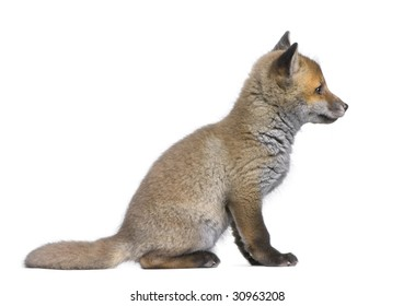 side view of a Red fox cub (6 Weeks old)- Vulpes vulpes in front of a white background