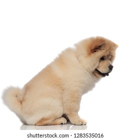 side view of seated chow chow with tongue exposed looking down on white background