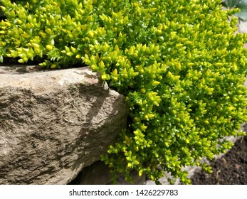 Side view of Sedum Acre perennial plant growing down stone wall.