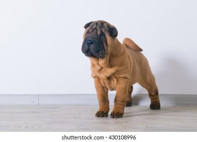 Side view of Shar pei puppy. 3 months. Sharpei dog