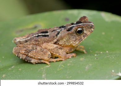 Side view shot of a Gollum's Toad on green leaf