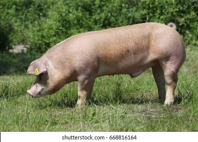 Side view shot of a young duroc breed pig on natural environment