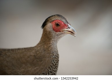 Side View of a Silver Pheasant Bird Close-up